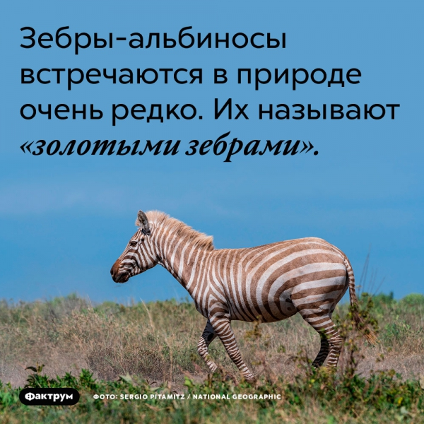 Зебры-альбиносы встречаются в природе очень редко. Их называют «золотыми зебрами»