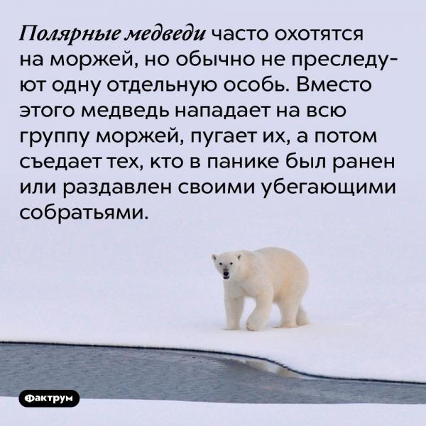 Полярные медведи часто охотятся на моржей, но обычно не преследуют одну отдельную особь