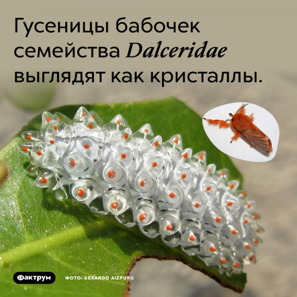 Гусеницы бабочек семейства Dalceridae выглядят как кристаллы